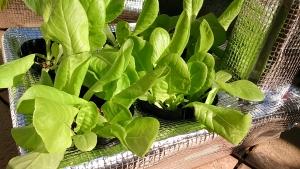 2013-11-13 サラダ菜