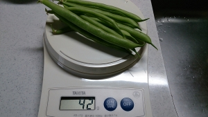 2013-11-20 つるなしいんげん 収穫 (1)
