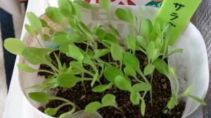 2013-10-16 サラダ菜