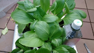 2013-11-20 チンゲン菜 収穫 (2)