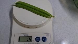 2013-12-03 つるんしいんげん 収穫