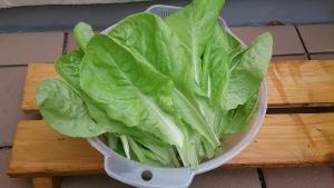 2013-12-06 サラダ菜収穫 (2)