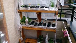 2013-12-20 チンゲン菜 土寄せ・栽培用トレイへ (4)