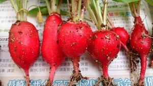 2013-12-30 ラディッシュ 収穫 (2)