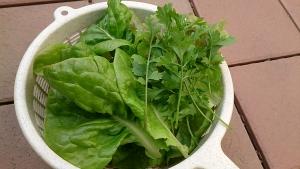 2014-01-13 サラダ菜 収穫 (2)