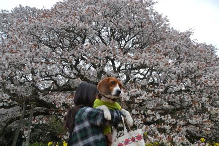 20120416吉高の大桜05