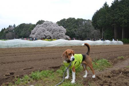 20120416吉高の大桜04