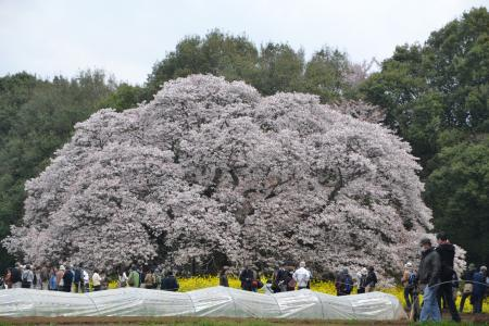 20120416吉高の大桜03