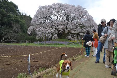 20120416吉高の大桜11