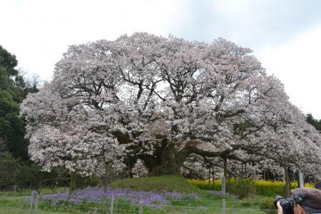20120416吉高の大桜10