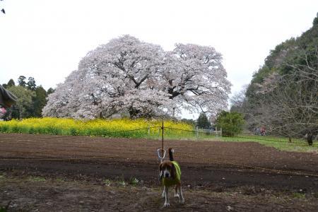 20120416吉高の大桜14