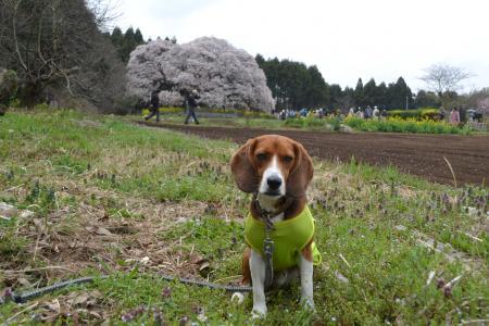 20120416吉高の大桜13