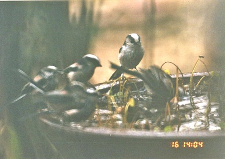 エナガ水浴び2