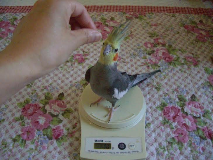 体重計に乗るピピン