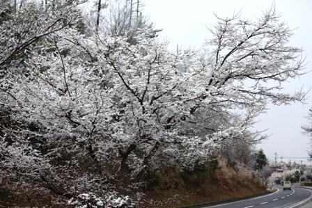 3月3日 雪桜