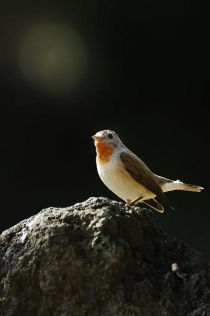 オジロビタキ♂