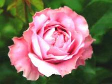 ミルラの花