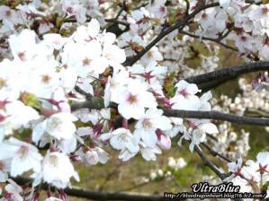 20100402_桜