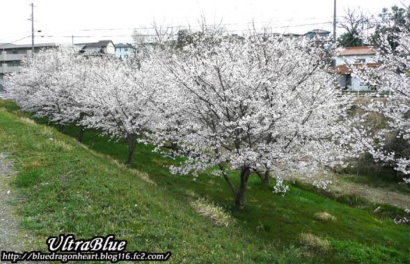 20100402_桜全体