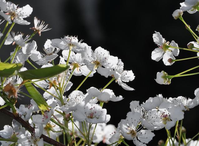 Flowering Pear-04