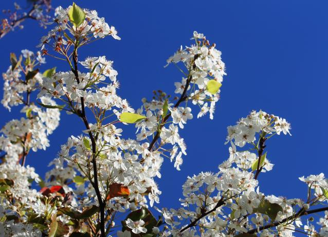 Flowering Pear-03