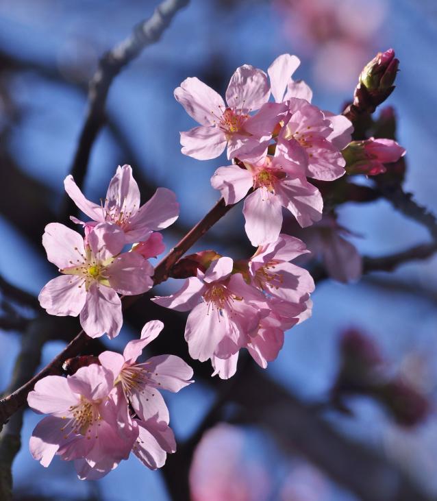 Cherry-03
