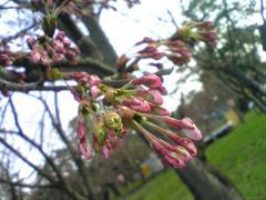 桜4.30-54_600