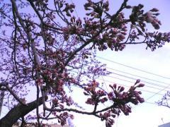 桜4.30-46_600