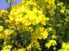 菜の花13_600