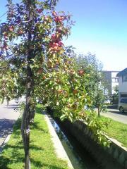 赤いりんご48_600