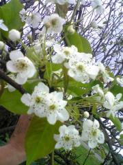 梨の花05_600