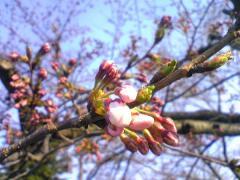 桜05_600