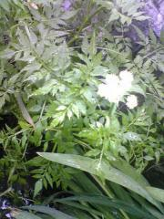 セリの花18_600