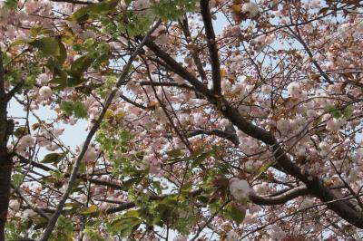 御衣黄と八重桜