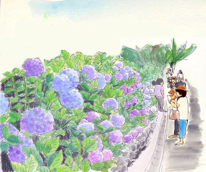 紫陽花201306ふんわり