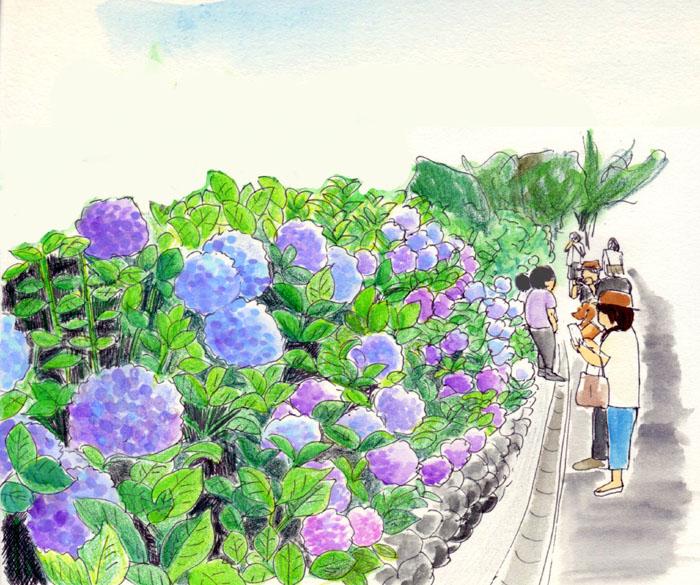 紫陽花201306鮮やか
