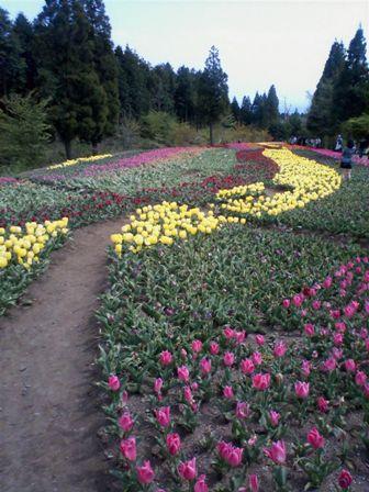 花公園チューリップ2