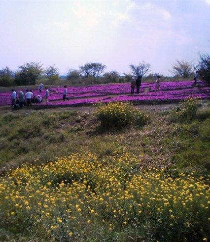 花公園 柴桜と菜の花