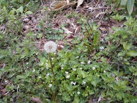 タンポポと白い花