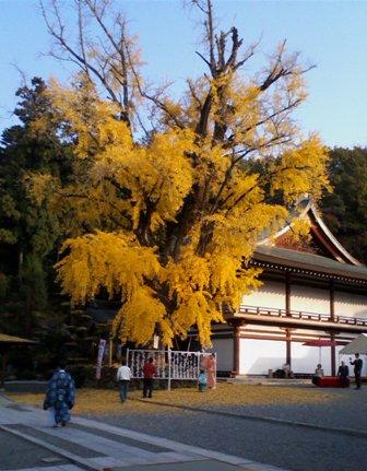 吉備津神社 大いちょう