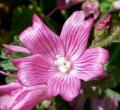 655px-Sidalcea_malviflora_ssp_malviflora_3[1]