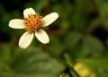 800px-Bidens_pilosa_closeup[1]