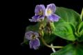 800px-Boea_hemsleyana_flowers[1]