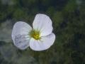 800px-Ottelia_japonica_flower[1]