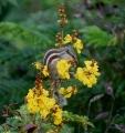 Flower,_buds,_leaves,_fruit_I_IMG_1594[1]