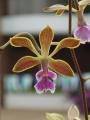 450px-Encyclia_oncidioides_-_flower[1]