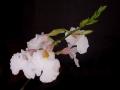 800px-Rodriguezia_obtusifolia[1]