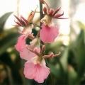 Eulophia-guineensis[2]
