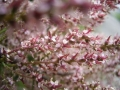 800px-Tamarix_gallica_bloemen[1]