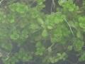 800px-Callitriche_palustris_submerged[1]